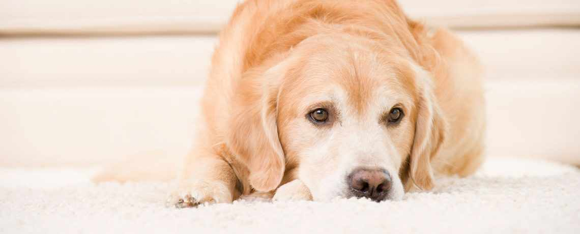 Pet Odour and Stain Removal | Chem-Dry Red Rose Gosford and Wyong